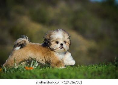 Shih Tzu puppy dog running through field
