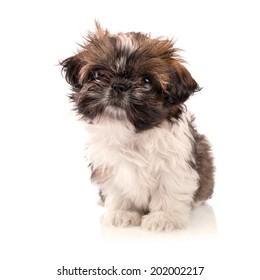 Shih tzu puppy isolated on white background