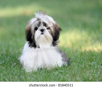 Shih Tzu puppy on green grass