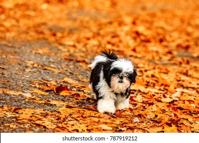 Shih Tzu puppy playing in the fallen leaves.