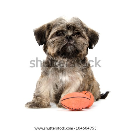Shih Tzu Puppy Sitting Toy American Stock Photo Edit Now 104604953