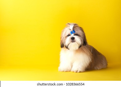 Shih tzu puppy wearing blue bow. Cute shih tzu is sitting on the yellow background. Shih Tzu -the Chrysanthemum Dog