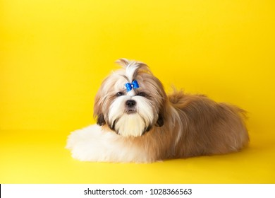 Shih tzu puppy wearing blue bow. Cute shih tzu is lying on the yellow background. Shih Tzu -the Chrysanthemum Dog
