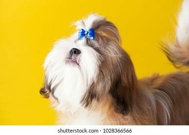 Shih tzu puppy wearing blue bow. Cute shih tzu on the yellow background. Shih Tzu -the Chrysanthemum Dog