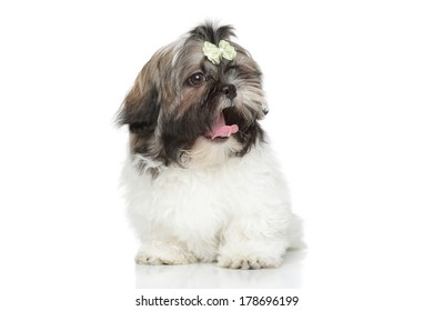 Shih Tzu puppy yawn. Portrait on a white background