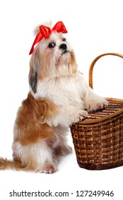 Shih tzu  with red bow in hair  on white background