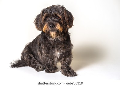 Shih Tzu Scottish Terrier mix breed dog canine with angular limb deformity sitting down isolated on white background