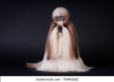 Shih tzu show class dog portrait at studio on black background