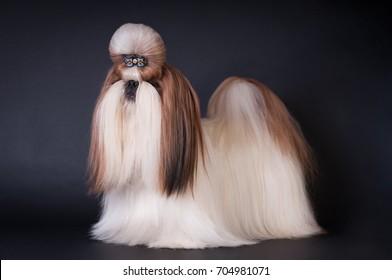 Shih tzu show class dog portrait at studio on black background