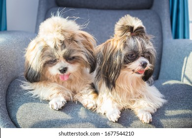 Shih Tzu sit on the chair