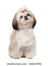 Shih Tzu sitting against white background