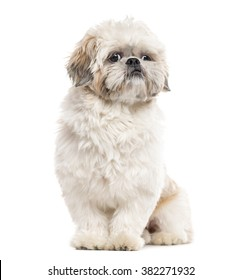 Shih Tzu sitting and looking away, isolated on white (1 year old)
