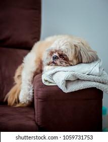 Shih Tzu sleeping on sofa