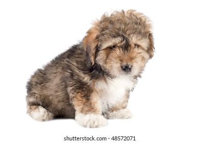 shih tzu small dog isolated on white background