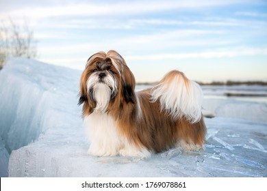 Shih Tzu standing on an ice floe with icicles. Shih Tzu puppy, 9 months old