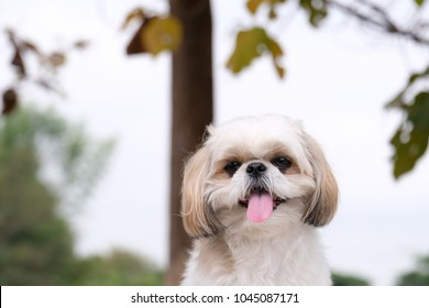 Shih Tzu Tongue hanging