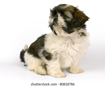 Shih-tzu baby girl puppy two months old isolated on white. Clipping path incl.