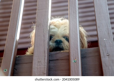 a shihtzu looking down from a deck