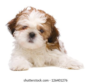 Shih-tzu puppy posing isolated on white background