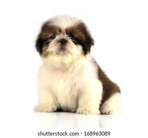 Shih-tzu puppy posing isolated on white background