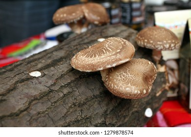 Shiitake mushroom. Cultivation and growth of the Shiitake mushrooms in Japanese technology on oak logs. Mushrooms grow on wooden logs. Shiitake mushrooms growing on tree.
