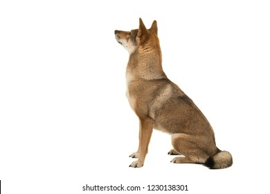 Shikoku dog sitting looking up and away at the background isolated on a white background