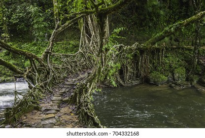 Shillong, Meghalaya, India. A living roots bridge over a river in deep forest surround by flora on a dull, overcast day in Khasi hills near the village of Riwai, Shillong, Meghalaya, India.