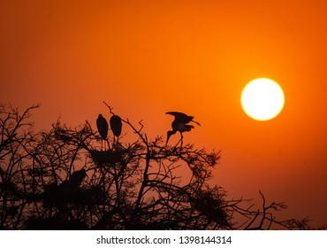 Shilloute of a painted stork during sunset