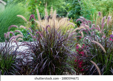 Shimmery Purple Ornamental fountain grass gracefully waving in the late afternoon