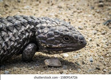 Shingleback, Two-Headed Skink, Stump-Tailed Skink, Bobtail - different names of the wild Australian lizard