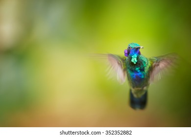 Shining blue and grass green Colibri coruscans, Sparkling Violet-ear  medium size hummingbird hovering in front view and showing violet feather ears. Green and orange blurred plants in background.