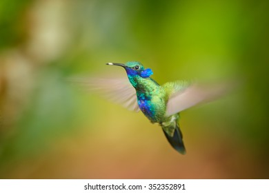 Shining blue and grass green Colibri coruscans, Sparkling Violet-ear  medium size hummingbird hovering in side view and showing violet feather ears. Green and orange blurred plants in background.