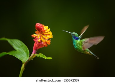 Shining blue and grass green Colibri thalassinus Green Violet-ear, medium size hummingbird hovering next to red and yellow flower with raindrops against dark green rainforest background. Ecuador.