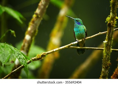 Shining blue and grass green Colibri thalassinus, Green Violet-ear medium size hummingbird in front view perched on twig with raindrops. Dark green blurred  background. Rainforest, Ecuador