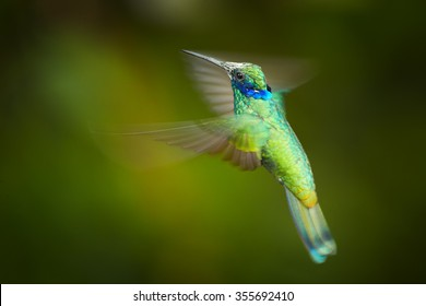 Shining blue and grass green Colibri coruscans, Sparkling Violet-ear medium size hummingbird in side view hovering. Dark green blurred background.