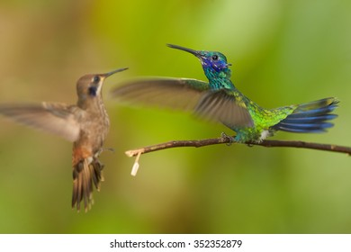 Shining colorful Colibri coruscans, Sparkling Violet-ear hummingbird in fight with Brown Violet-ear with fully outstretched wings defending its position.Green blurred background.