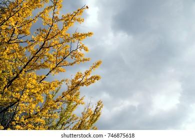 "Shining ginkgo leaves. Background cloudy sky - Ginkgo biloba. It is called ""Ichou"" in Japan."