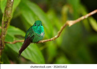 Shining grass green hummingbird Urosticte ruficrissa Rufous-vented Whitetip perched on a twig against humid leaves of montane forest. Wildlife photography in Wildsumaco, East Andes, Ecuador.