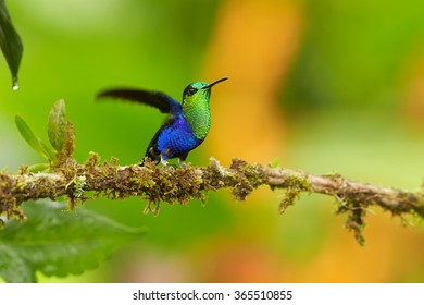 Shining green and blue Green-crowned woodnymph Thalurania colombica fannyi male hummingbird,perched on mossy twig in Colombian rainforest.