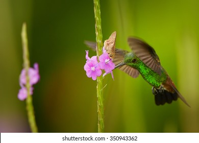 Shining green hummingbird with coppery colored wings and tail Copper-rumped Hummingbird Amazilia tobacco hovering and feeding from violet flower together with moth.  Trinidad and Tobago