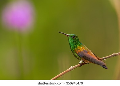 Shining green hummingbird with coppery colored wings Copper-rumped Hummingbird, Amazilia tobaci, perched on twig against colorful distant green  background with violet flower. Trinidad and Tobago.