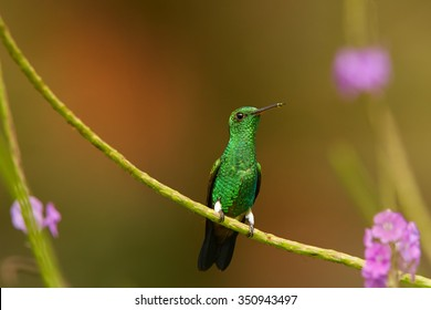 Shining green hummingbird with coppery colored wings Copper-rumped Hummingbird Amazilia tobacco perched on lavendarr's stem. Colorful distant brown and green  background with violet flowers.