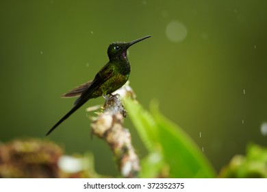 Shining green hummingbird Empress Brilliant Heliodoxa imperatrix,male with water drops on its body, perched on mossy twig in rainy day.  Blurred distant forest background.  Vibrant colors.