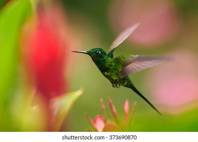 Shining green hummingbird Empress Brilliant Heliodoxa imperatrix,male with golden sparkling breast, hovering,feeding on red flower. Blurred pink flowers in background. Vibrant colors.
