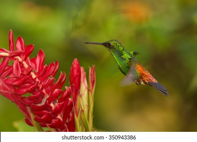 Shining green hummingbird with orange and blue tail, Copper-rumped Hummingbird Amazilia tobaci hovering over red alpinia flower. Colorful distant green and orange background. Trinidad and Tobago.