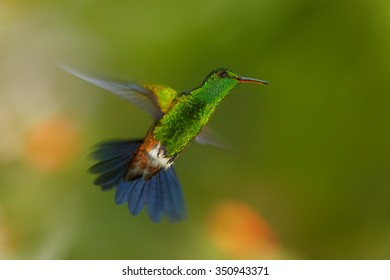 Shining green hummingbird with outstretched blue tail Copper-rumped Hummingbird Amazilia tobaci, hovering directly at camera. Colorful distant green and orange background. Trinidad and Tobago.
