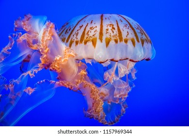 the shining jellyfish