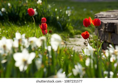shining red tulips in spring