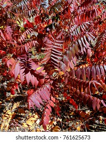 Shining Sumac - Fall scene in Sam Johnson Park - Redmond, OR