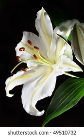 Shining white (madonna) lily flower against black background